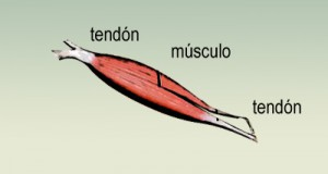 La tendinitis (I): Los tendones diagrama