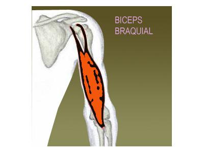 El entrenamiento del bíceps: Músculos implicados
