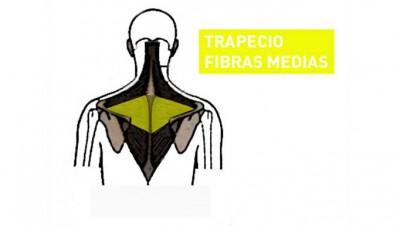 trapecio-5-fibras-medias