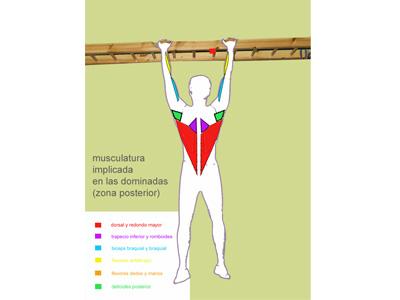 Musculatura implicada en el ejercicio de dominadas