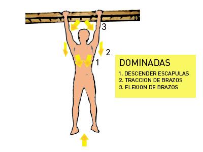 Músculos implicados en el ejercicio de dominadas
