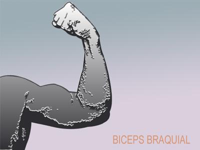 La anatomía en el entrenamiento del bíceps