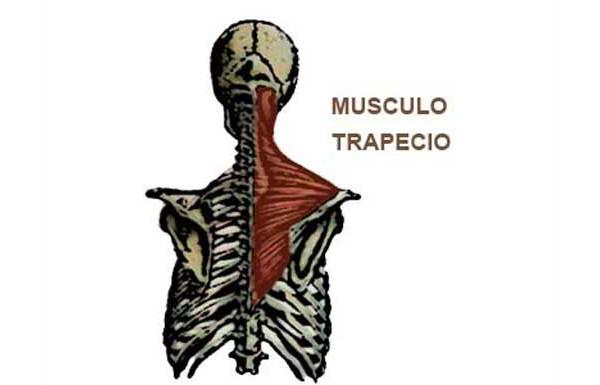 Músculo trapecio localizacion y ejerccios