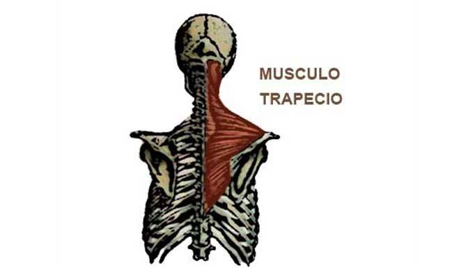 El músculo trapecio: Localización y funciones principales