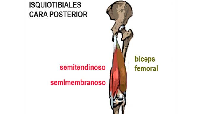 Los músculos isquiotibiales: ¿Qué son? ¿Que función tienen?