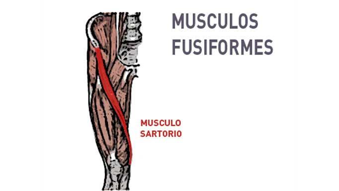 Tipos de músculos según la disposición de sus fibras: Fusiformes y Penniformes